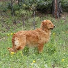 Miniature golden retriever breeders california
