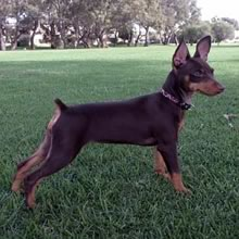 Miniature Pinscher Photos