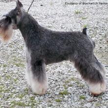 Schnauzer puppies for sale nz
