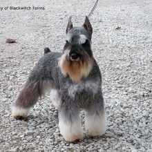 Toy Schnauzer Photos