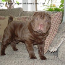 PuppyFind | Miniature Shar Pei Puppies for Sale