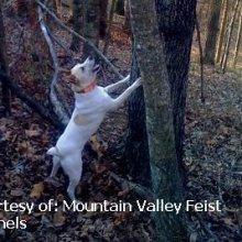 Puppyfind Mountain Feist Puppies For Sale