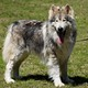 Native American Indian Dog Dog Breed Profile...
