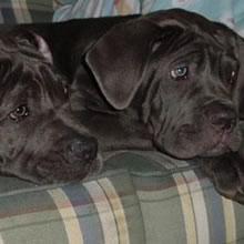 PuppyFind | Neapolitan Mastiff Puppies for Sale