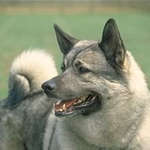 Norwegian Elkhound Photos