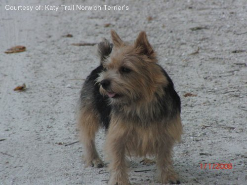 Norwich Terrier Pictures (4e83do577w)