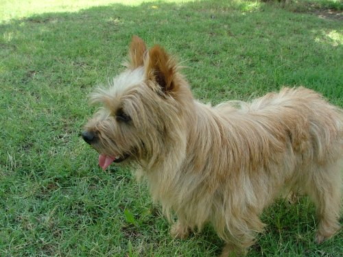 Norwich Terrier Pictures (au336i84bo)