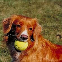 Breed Info Nova Scotia Duck Tolling Retriever