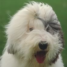 Old English Sheepdog Photos