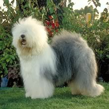 Old English Sheepdog Price Featured Breed  Old English