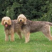 Otterhound Photo Gallery...