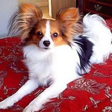 Papillon Photos