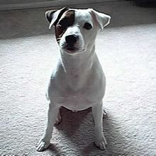 Parson Russell Terrier Photos