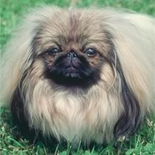 Pekingese Photos
