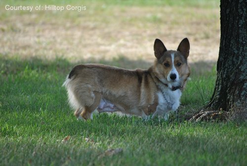 Pembroke Welsh Corgi pictures...