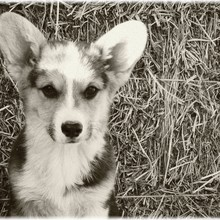 Pembroke Welsh Corgi Photos