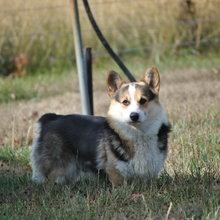 Puppyfind Find The Perfect Pembroke Welsh Corgi In Litchfield
