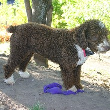 Spanish Water Dog Photos