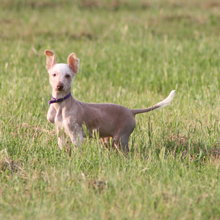 Inca Hairless Dog Photos