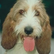 Puppyfind petit basset griffon vendeen puppies for sale - Petit basset griffon vendeen breeders toulon ...