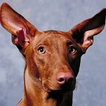 Pharaoh Hound Photos
