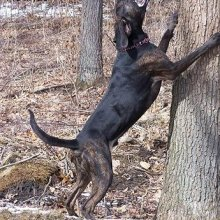 Plott Hound Photos