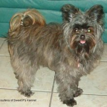 PuppyFind | Pomapoo Puppies for Sale