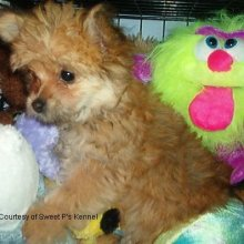 Puppyfind Pomapoo Puppies For