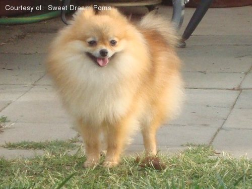 Pomeranian pictures...
