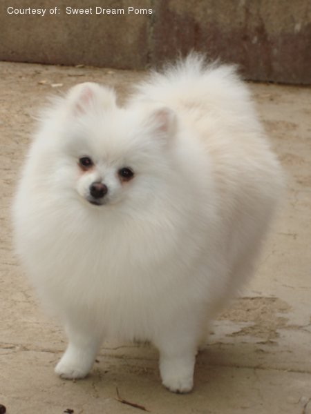 teacup pomeranian for sale in ky pomeranian pictures zd85wvg586 7789