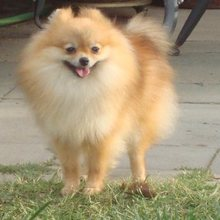 Pomeranian Photos