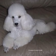 Poodle Miniature Photo Gallery...