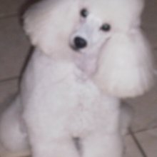 Poodle Miniature Photos