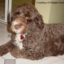 Light brown portuguese water dog - photo#10