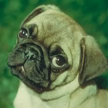 Chinese Pug Photos