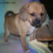 Puggle Photos