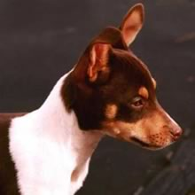 Toy Rat Terrier Photos