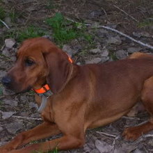 Redbone Coonhound Photos