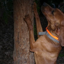 Redbone Coonhound Treeing A Coon Redbone coonhound photosRedbone Coonhound Treeing