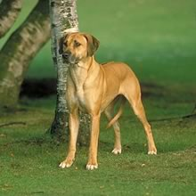 Rhodesian Ridgeback Photos
