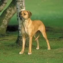 PuppyFind | Rhodesian Ridgeback Puppies for Sale