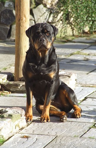 Rottweiler pictures...