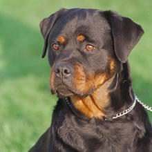 All-Black Rottweiler Puppies