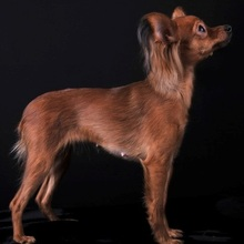 Russian Longhaired Toy Terrier Photos