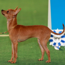 Moscow Longhair Toy Terrier Photos