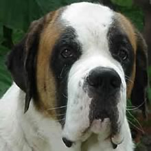 Saint Bernard Photos
