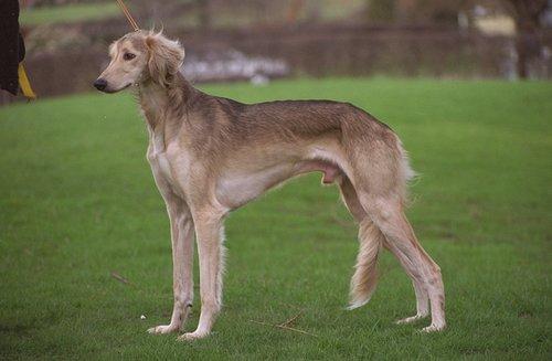 Saluki Dog For Sale In California