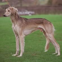 Saluki Photos