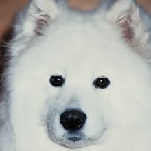 PuppyFind | Samoyed Puppies for Sale