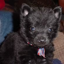 Schipperke Puppies on Schipperke Puppies For Sale
